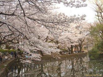 善福寺公園の桜 (13)加工.jpg
