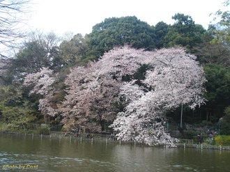 善福寺桜2009A.jpg