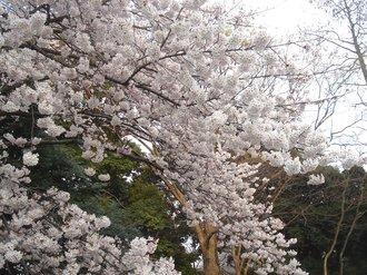 善福寺桜2009F.jpg