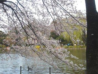 善福寺桜1.jpg
