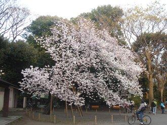 善福寺桜E.jpg
