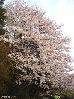 善福寺桜I.jpg