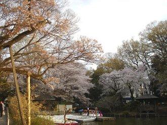 善福寺桜J4.jpg