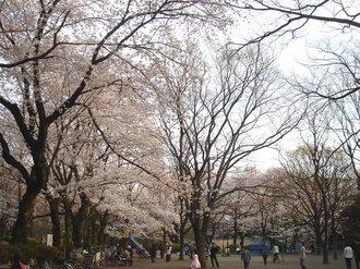 善福寺桜J6.jpg