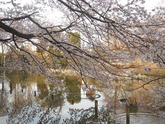 善福寺桜J7.jpg