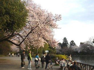 善福寺桜J9.jpg