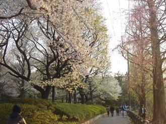 善福寺桜J99.jpg
