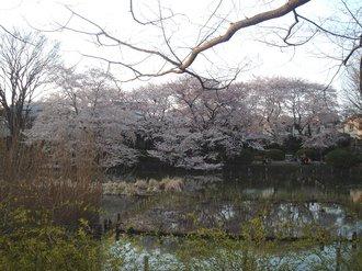 善福寺桜J991.jpg