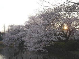 善福寺桜J992.jpg