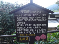 不断桜2.JPG